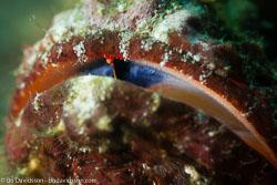 BD-161027-Pura-3268-Synanceia-verrucosa.-Bloch---Schneider.-1801-[Stonefish.-Stenfisk].jpg